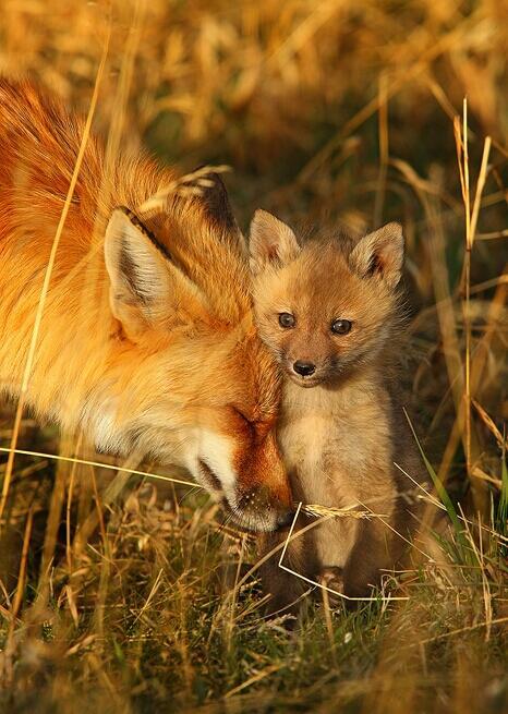 foxmothercub
